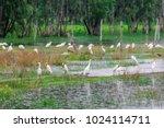 huge flock of great white...   Shutterstock . vector #1024114711