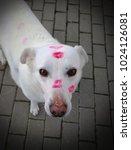 A Loved White Dog Full Of Kisses
