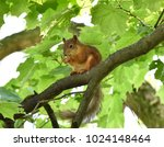 Red Squirrel Eating A Nut On A...