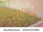 two lonely white flowers were... | Shutterstock . vector #1024155481
