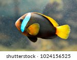 cinnamon clownfish  amphiprion... | Shutterstock . vector #1024156525