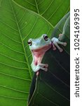 Small photo of Tree frog, dumpy frog on behind the leaf