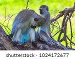 vervet monkey. tarangire... | Shutterstock . vector #1024172677