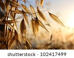 Spikelets Of Oats   As ...