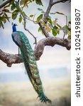 Peacock I A Tree In Kanha...