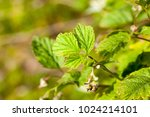 fresh foliage and closed buds... | Shutterstock . vector #1024214101