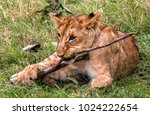 Playful Cub.  This Lion Cub Wa...