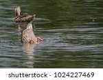 diving duck's tail sticking out ...   Shutterstock . vector #1024227469