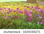 purple tulip flowerbed was seen ... | Shutterstock . vector #1024230271