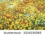 huge flowerbed of yellow... | Shutterstock . vector #1024230385