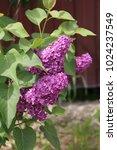 lilac flowers  lilac  grass ...   Shutterstock . vector #1024237549
