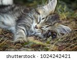 Stock photo close up photo of a gray black and white tabby kitten asleep in the grass landscape orientation 1024242421