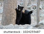 The Late Black Bear Mother ...