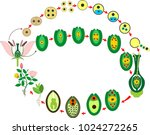 angiosperm plant life cycle.... | Shutterstock .eps vector #1024272265
