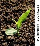 Young Corn Seedling