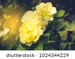 miniature yellow rose | Shutterstock . vector #1024344229