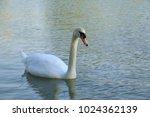 white swan duck floating in al... | Shutterstock . vector #1024362139
