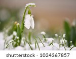 Snowdrops Spring Flowers....
