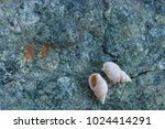 fossil shells on the rock  sea... | Shutterstock . vector #1024414291