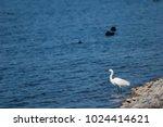 little egret  egretta garzetta ....   Shutterstock . vector #1024414621