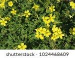 Beautiful Yellow Oxalis Pes...