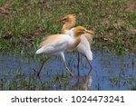 eastern cattle egret  bubulcus...   Shutterstock . vector #1024473241