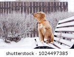 adorable toller puppy on a... | Shutterstock . vector #1024497385