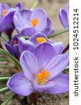 spring beautiful flowers...   Shutterstock . vector #1024512214