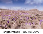 early spring crocuses in the... | Shutterstock . vector #1024519099