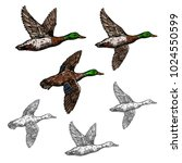 Duck Mallard Wild Bird Vector...