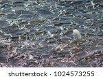 little egret  egretta garzetta ....   Shutterstock . vector #1024573255