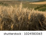 wheat ears. agricultural ... | Shutterstock . vector #1024583365