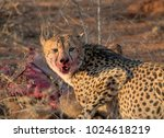 wild cheetah with their kill of ... | Shutterstock . vector #1024618219