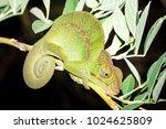 panther chameleon  furcifer... | Shutterstock . vector #1024625809