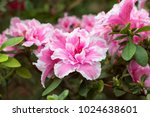 Azalea Tree Blooming