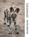 Small photo of A vertical, full length, colour image of an African wild dog pup, Lycaon pictus, staring up at the camera in the Timbavati Game Reserve, South Africa.