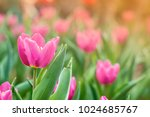tulip in the garden colors make ... | Shutterstock . vector #1024685767
