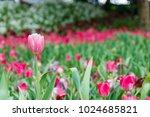 tulip in the garden colors make ... | Shutterstock . vector #1024685821