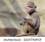 single hamadryas baboon in... | Shutterstock . vector #1024743919