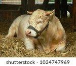 limousin cattle bull   champion ... | Shutterstock . vector #1024747969