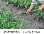 gardener pull up weeds with a... | Shutterstock . vector #1024757431