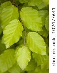 growing beech leaves in springtime close up - stock photo