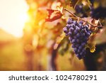 Blue Grapes In A Vineyard At...