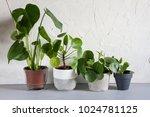 pilea peperomioides and...   Shutterstock . vector #1024781125