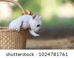 Stock photo three white french bulldog puppies in a wicker basket 1024781761