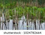 old stalks from cattails show... | Shutterstock . vector #1024782664
