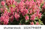 The Flower Purple Hosta ...