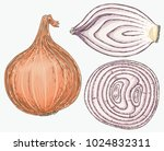 fresh bulb onion and sections... | Shutterstock .eps vector #1024832311