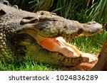 saltwater crocodile  crocodylus ... | Shutterstock . vector #1024836289