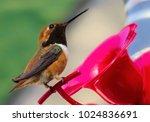 anna's hummingbird  a medium... | Shutterstock . vector #1024836691